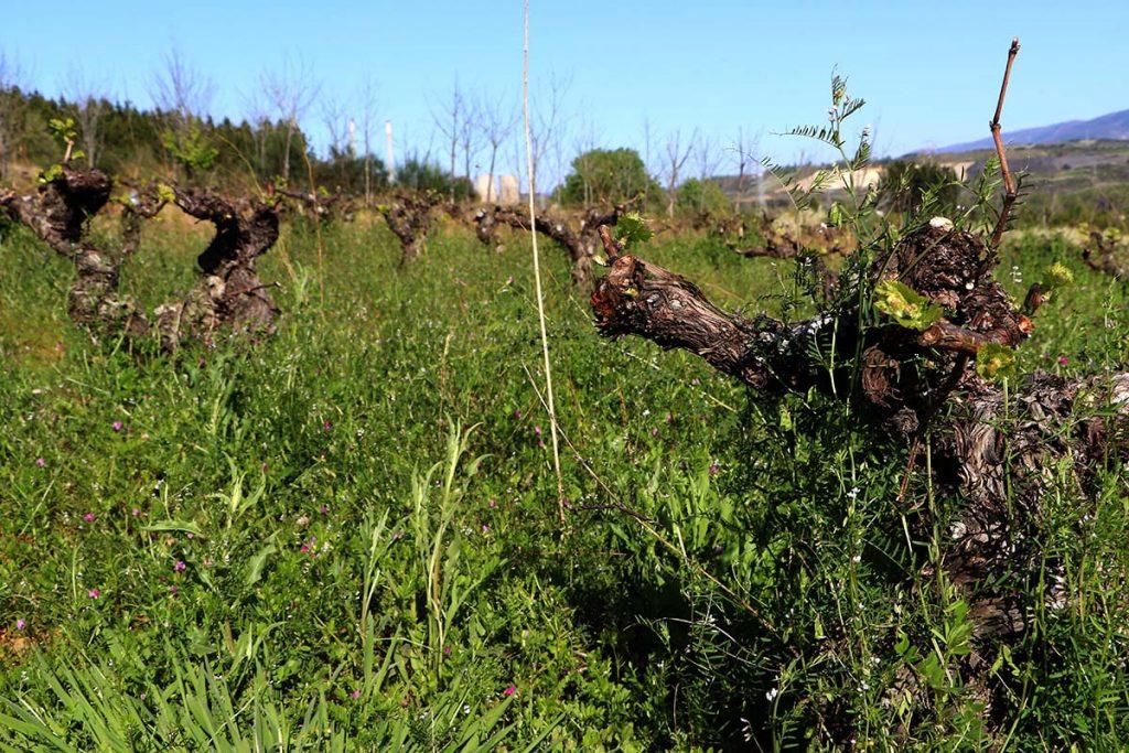 Aurelio Feo cepas viejas cubierta vegetal