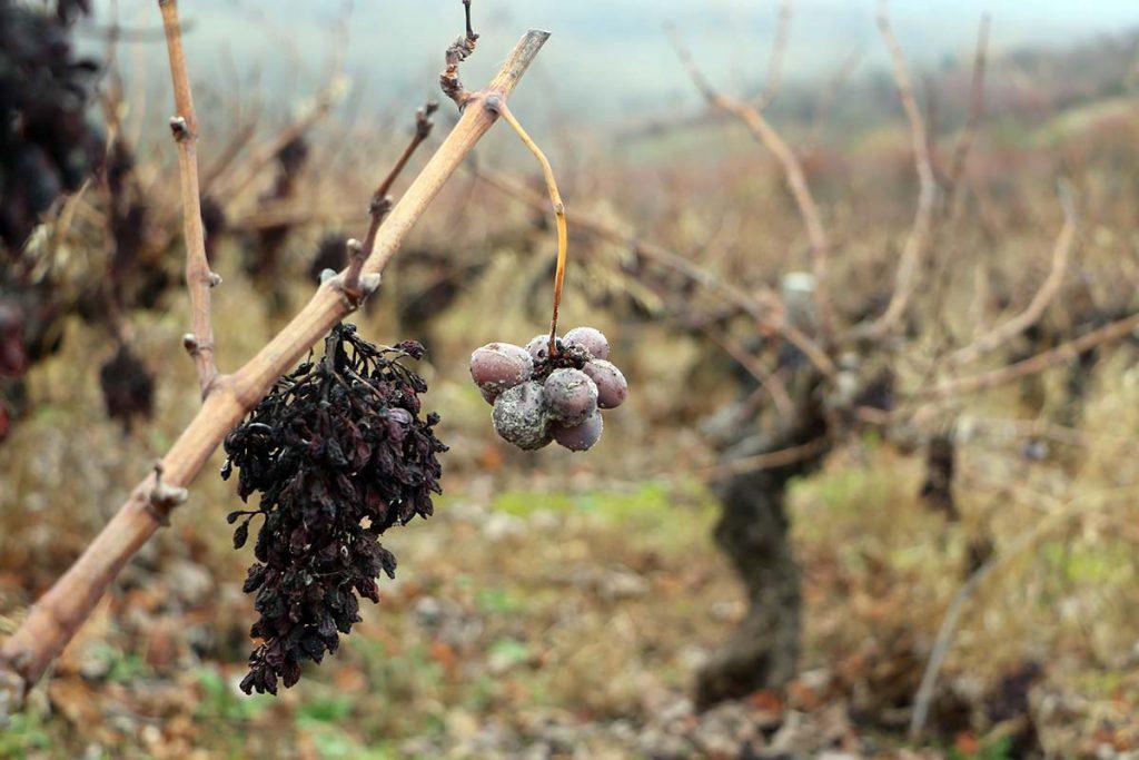 Cata Valle Recunco en las vinas