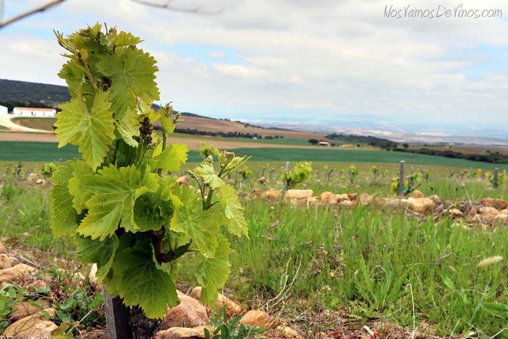 Viñedo. La Rioja.