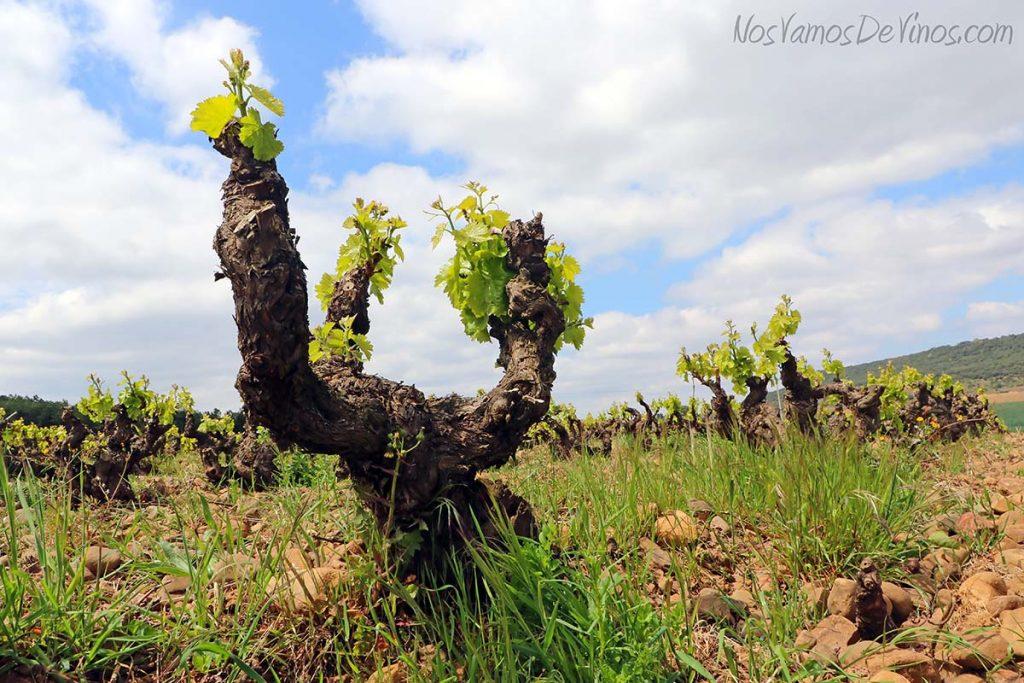 Vino conversa. Cepas en vaso. Garnacha. La Rioja.