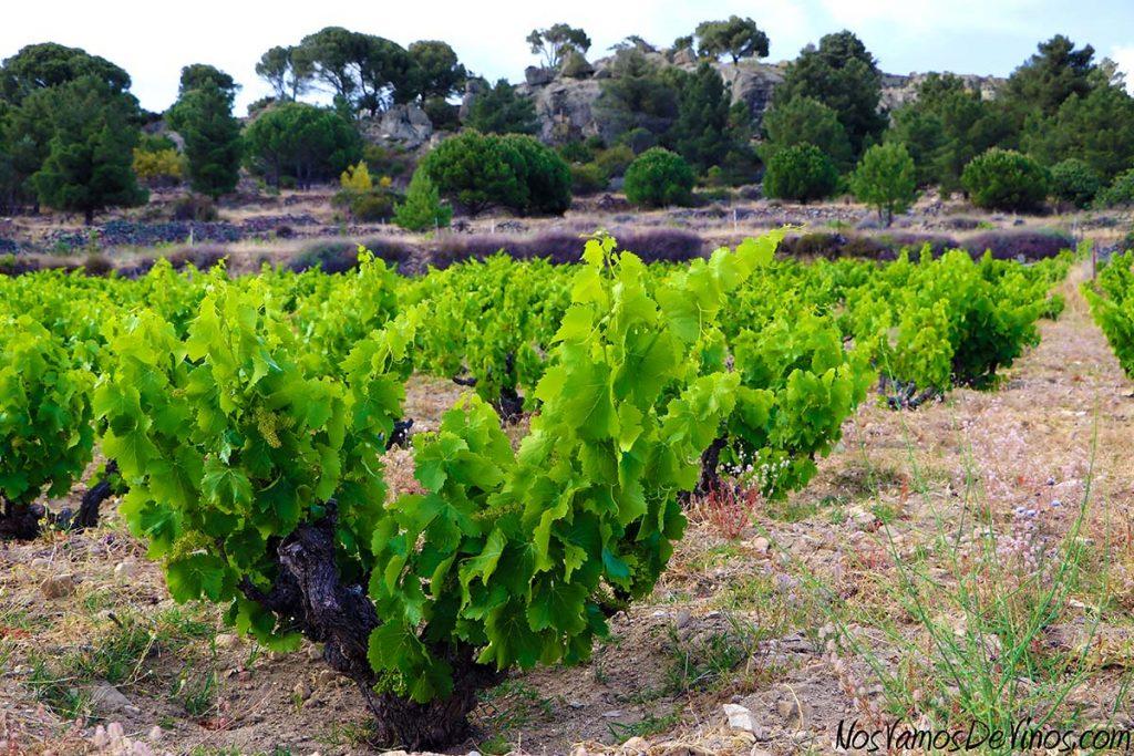 Viñedo de cepas viejas de Garnacha de Hoyanko, en Hoyo de Pinares, Ávila, cerca de la Sierra de Gredos.