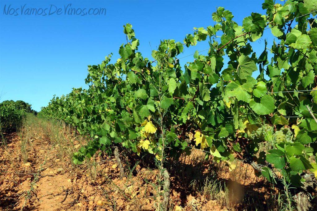 Cepas de Chardonnay de los viñedos de Vinos LOF, en Valtuille de Abajo, en el Bierzo.
