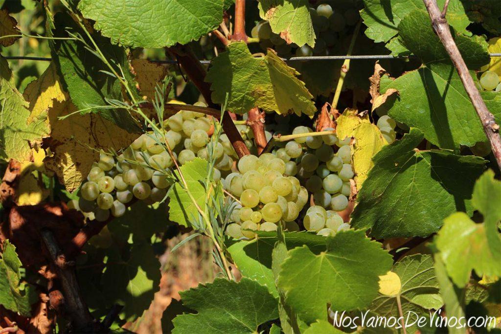 Uvas Chardonnay de los viñedos de Vinos LOF, en Valtuille de Abajo, en el Bierzo.