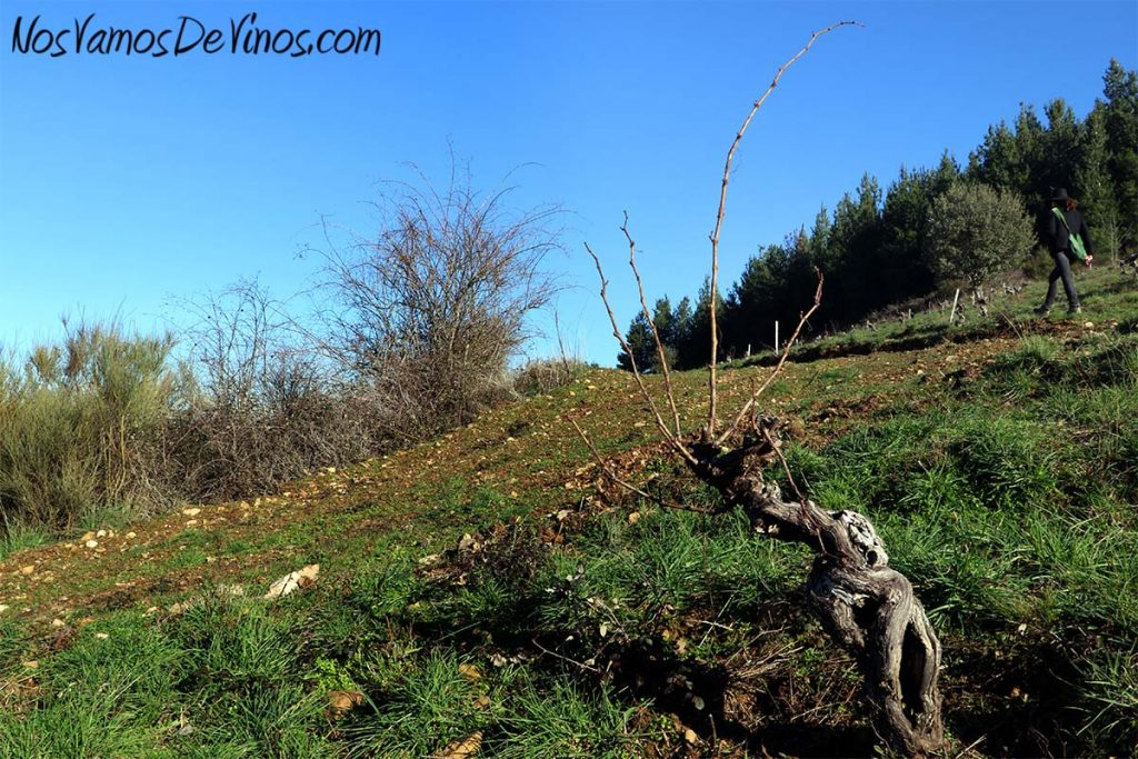 Van Gus Vana. María Zamarreño nos enseña su viñedo.