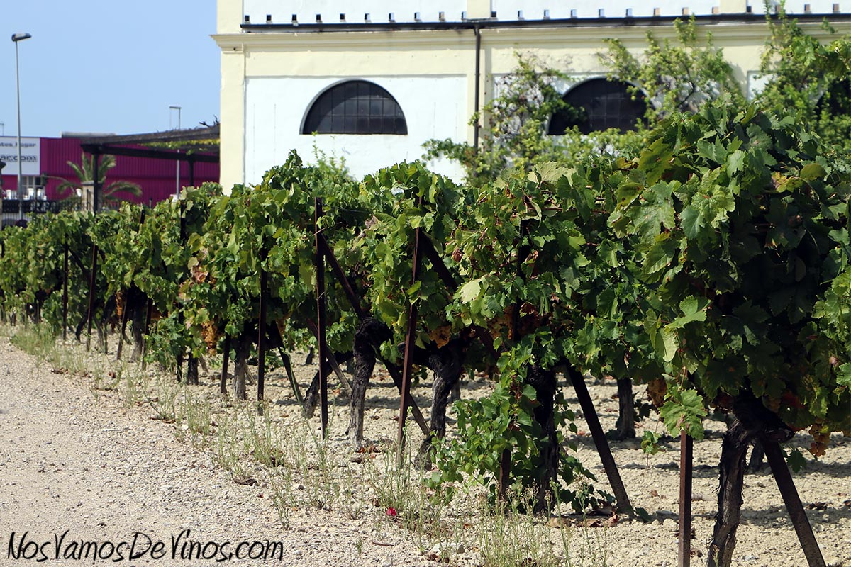 Un viñedo didáctico permite a los visitantes conocer la uva Palomino Fino. Este año, la vendimia comenzó el 15 de agosto y se extendió a lo largo de dos semanas.