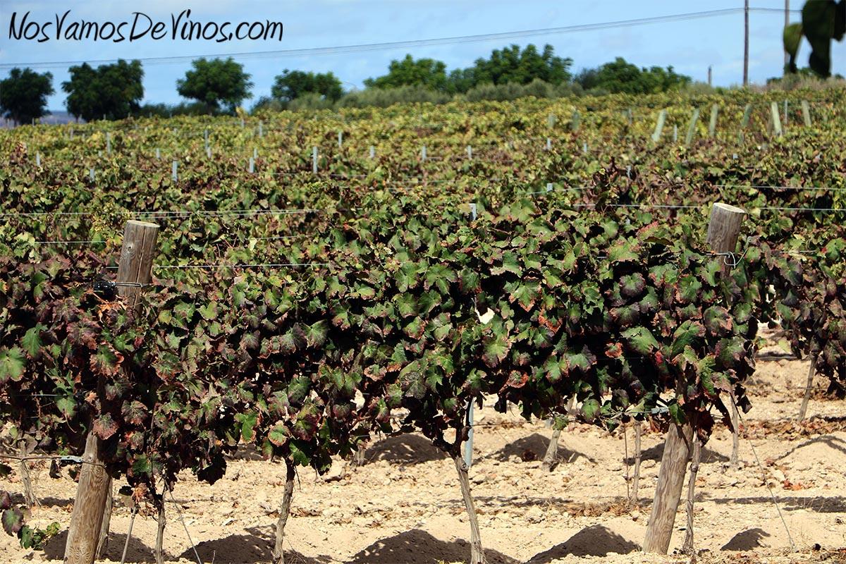 Viñedo de Forlong en el pago de Balbaína Baja, tras la vendimia.