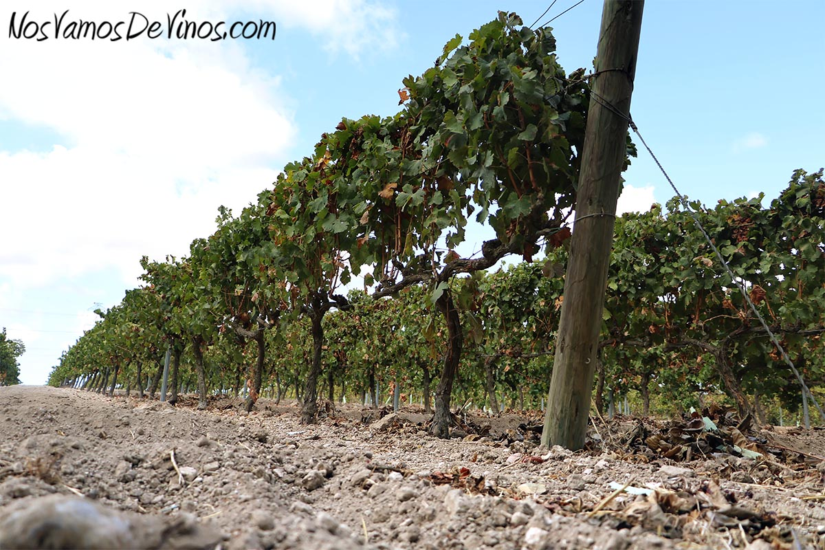 Primera hectárea de viñedo plantada por Forlong, en 2007, sobre el inconfundible suelo de albariza de lustrillo.