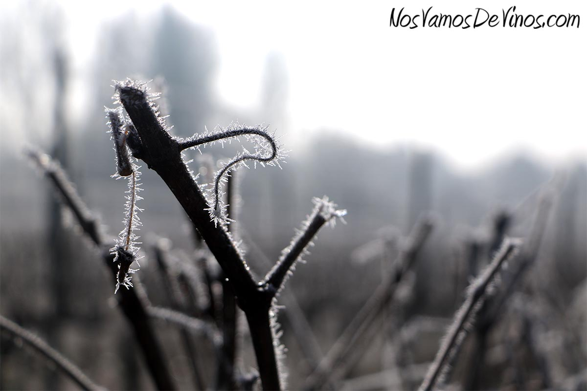 El hielo dibuja caprichosas formas en los sarmientos pre-podados del viñedo que rodea la bodega Merayo.