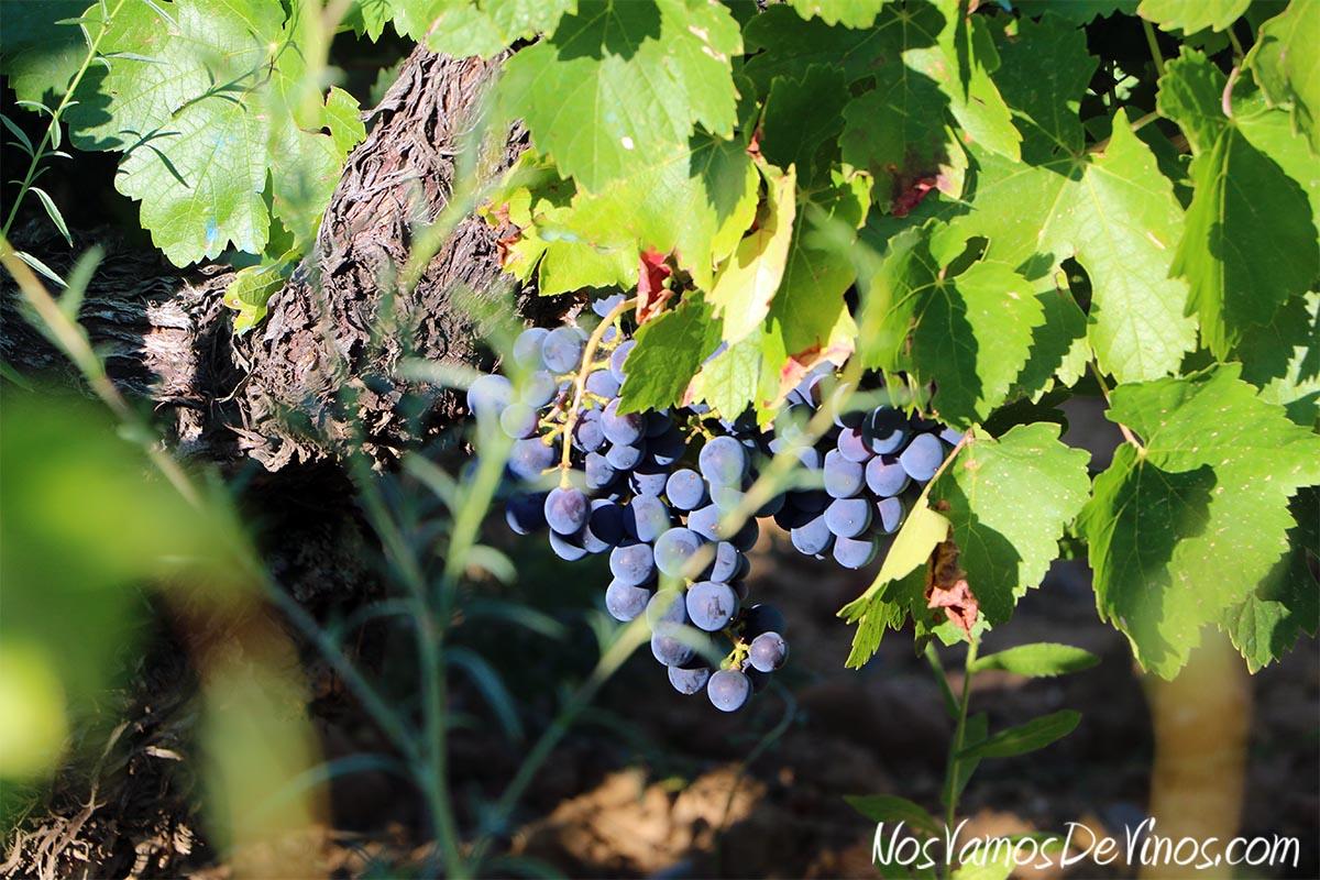 Visita al viñedo de Bodega Feo y cata de nuevas añadas.