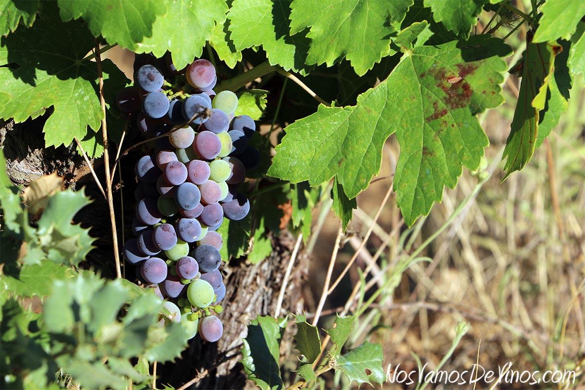 Visita al viñedo de Bodega Feo y cata de nuevas añadas. Envero en la parcela de Las Aragonas (Norte).